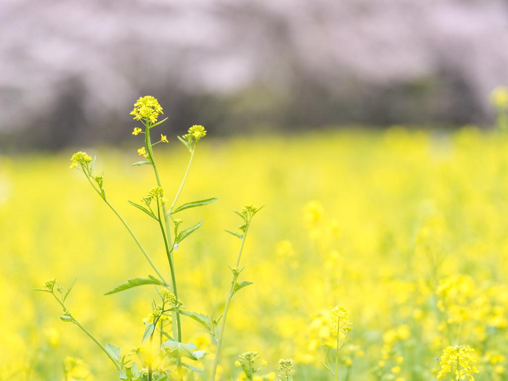 春の昭和記念公園①
