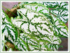 Caladium 'White Christmas' (Angel-wing White Christmas, Fancy Leaf White Caladium, White Christmas Caladium)