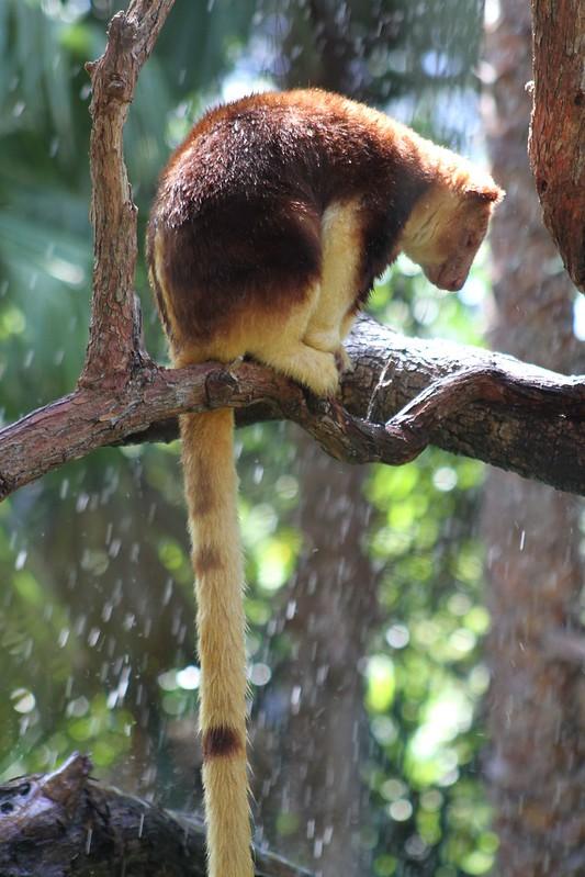 Tree Kanga