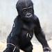 Zolli ZOO Basel, Gorillanachwuchs by urs_witschi