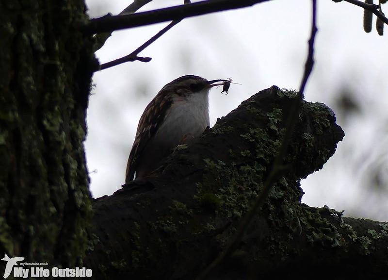 P1000077_2 - Treecreeper, Ynys-Hir