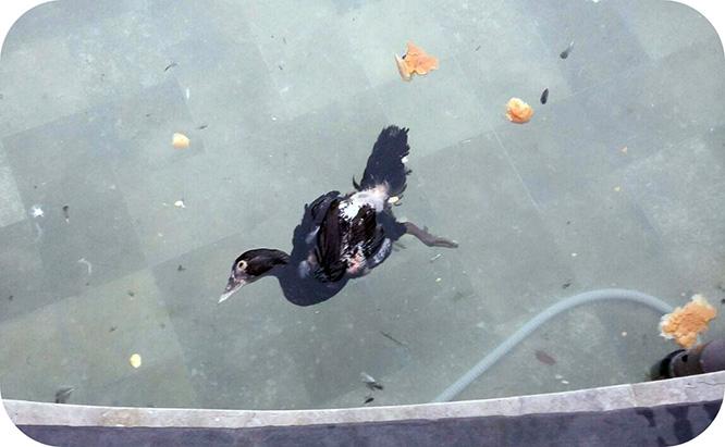 Patos y pavos reales del Parque Torres sobreviven gracias a la caridad de los vecinos