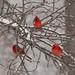 Tri-Cardinal