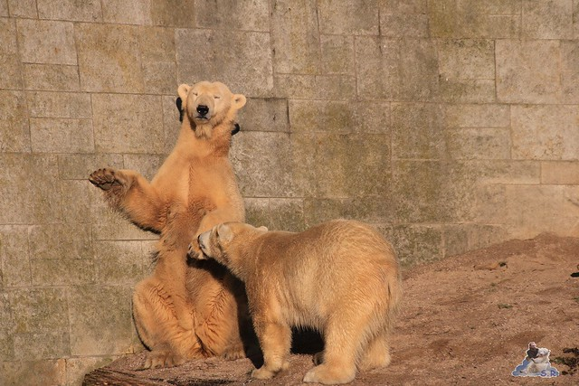 Eisbär Fiete im Zoo Rostock 06.02.2016  0170