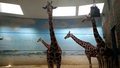 Kirin @ the Bronx Zoo.