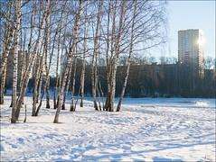 Russia. Balashikha. February in a birchwood.