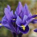 Iris - the blue spring miracle by Ostseeleuchte