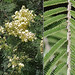 Small photo of Acacia mearnsii (Black Wattle)