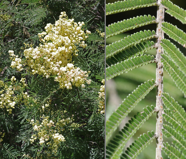 Header of Acacia mearnsii