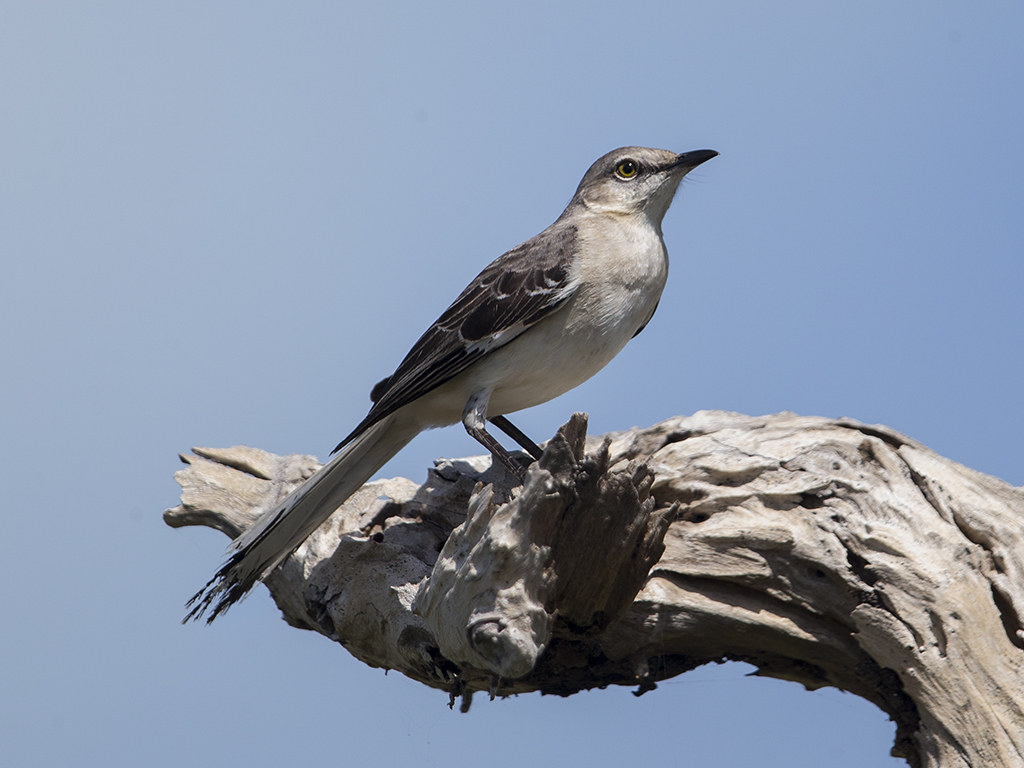 Northern Mockingbird  Cuba