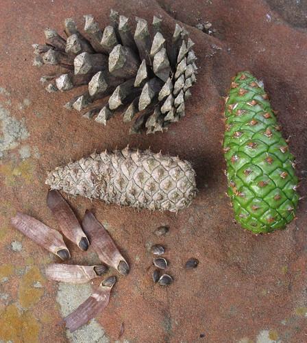 Pine Seeds