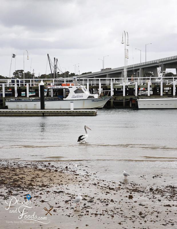 philip island san remo pelican