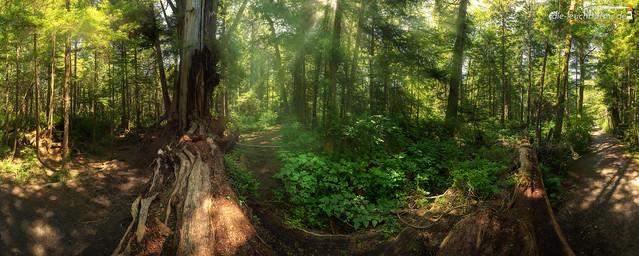 Big Red Cedar forest