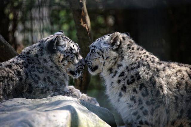 Snow Leopard Siblings