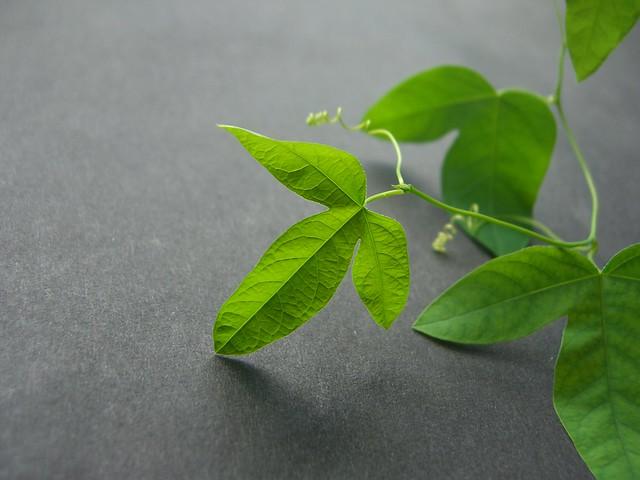 Tacsonia x Passiflora