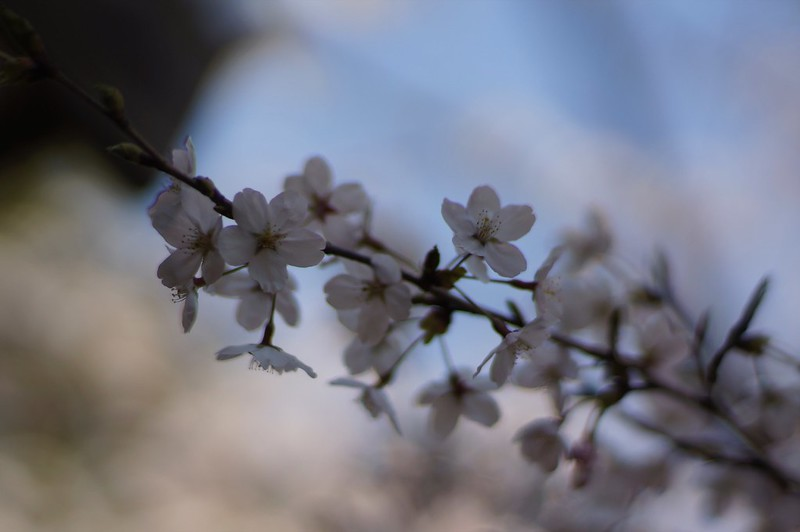 桜 × Planar 85mm F1.4