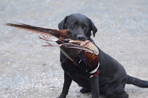 Pheasant Training (10)