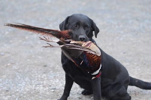 Pheasant Training (10)