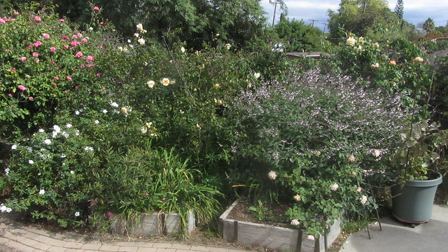 IMG_8201 east roses white salvia goleta backyard