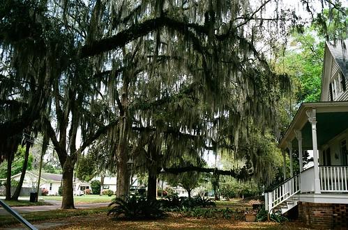 tree film 35mm florida madison liveoak spanishmoss canonae1 panhandle deepsouth kodakektar100 canonfd35mmf2ssc