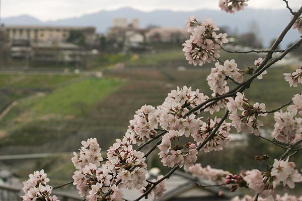 El florecimiento del sakura 2016