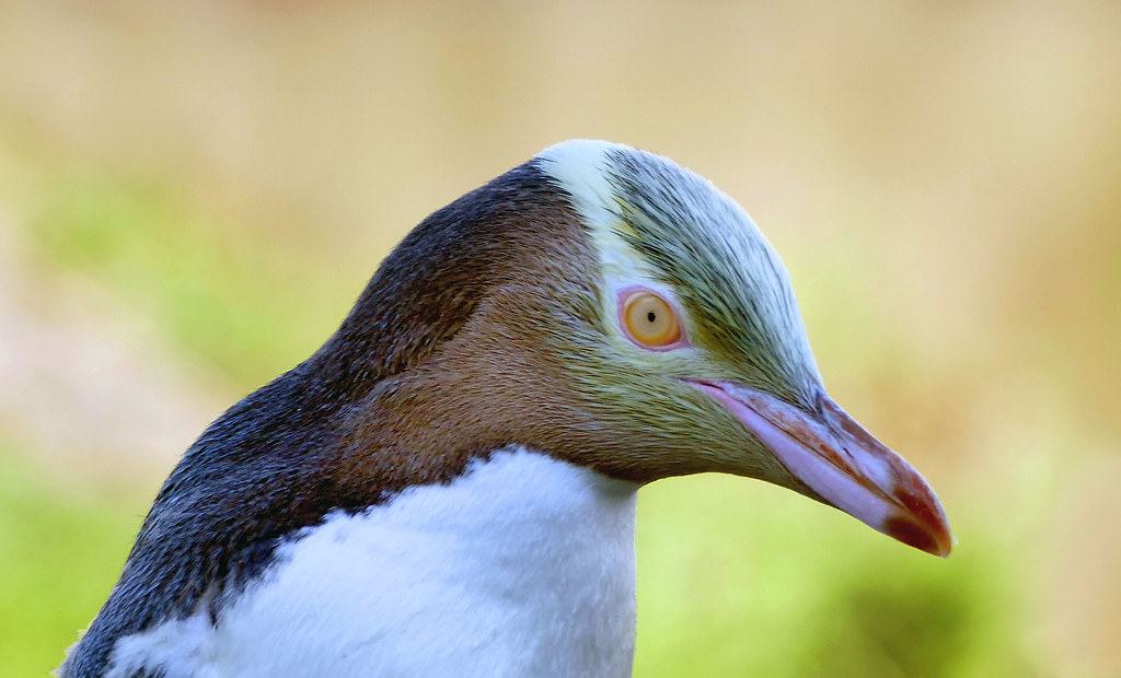 The yellow-eyed penguin. NZ