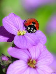 Coccinelle sur violette