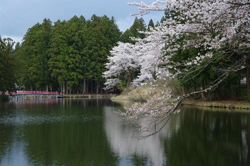 お松の池の桜_2016-04