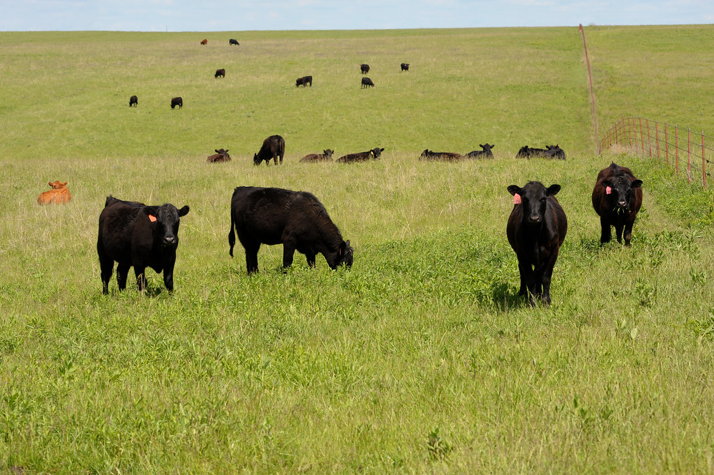 Cattle on prairie