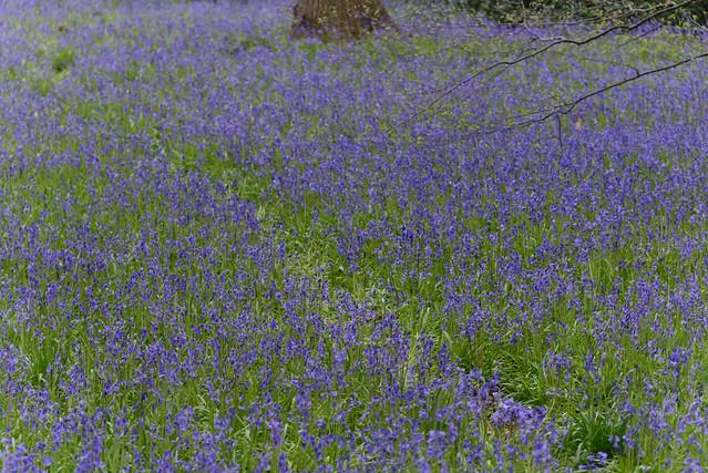 Bluebells_at_Kew_20150424_02