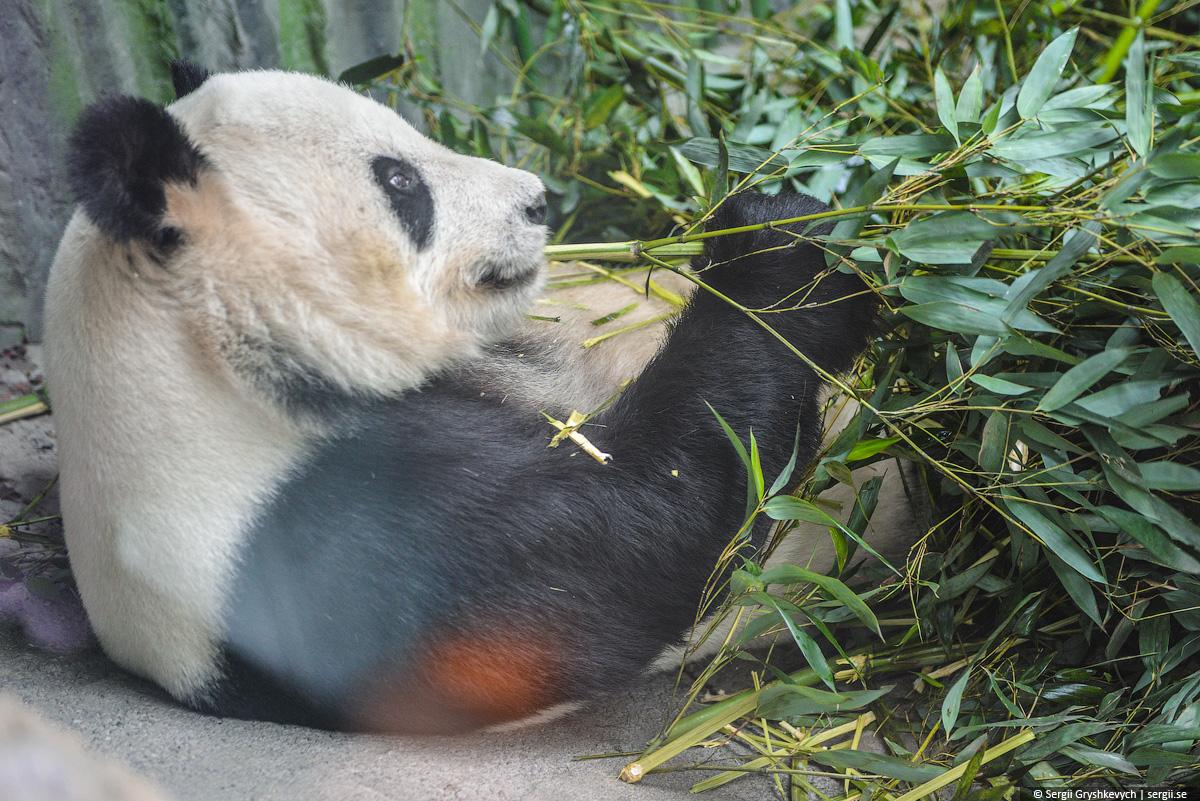 panda_peking_zoo-1