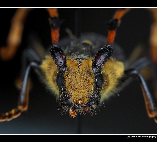 Long-horn beetle (Family Cerambycidae) from Argentina