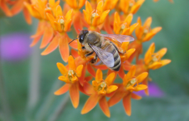 dark honeybee on a bright orange flower