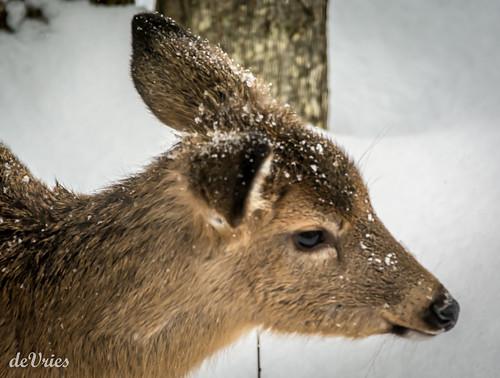 winter brown snow mi fur young ears deer flakes goodmorningsunshine ferridge february2016