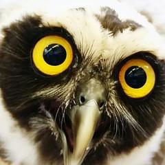 Eyes owl!