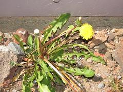 starr-150507-1817-Taraxacum_officinale-flowering_habit-Science_City-Maui