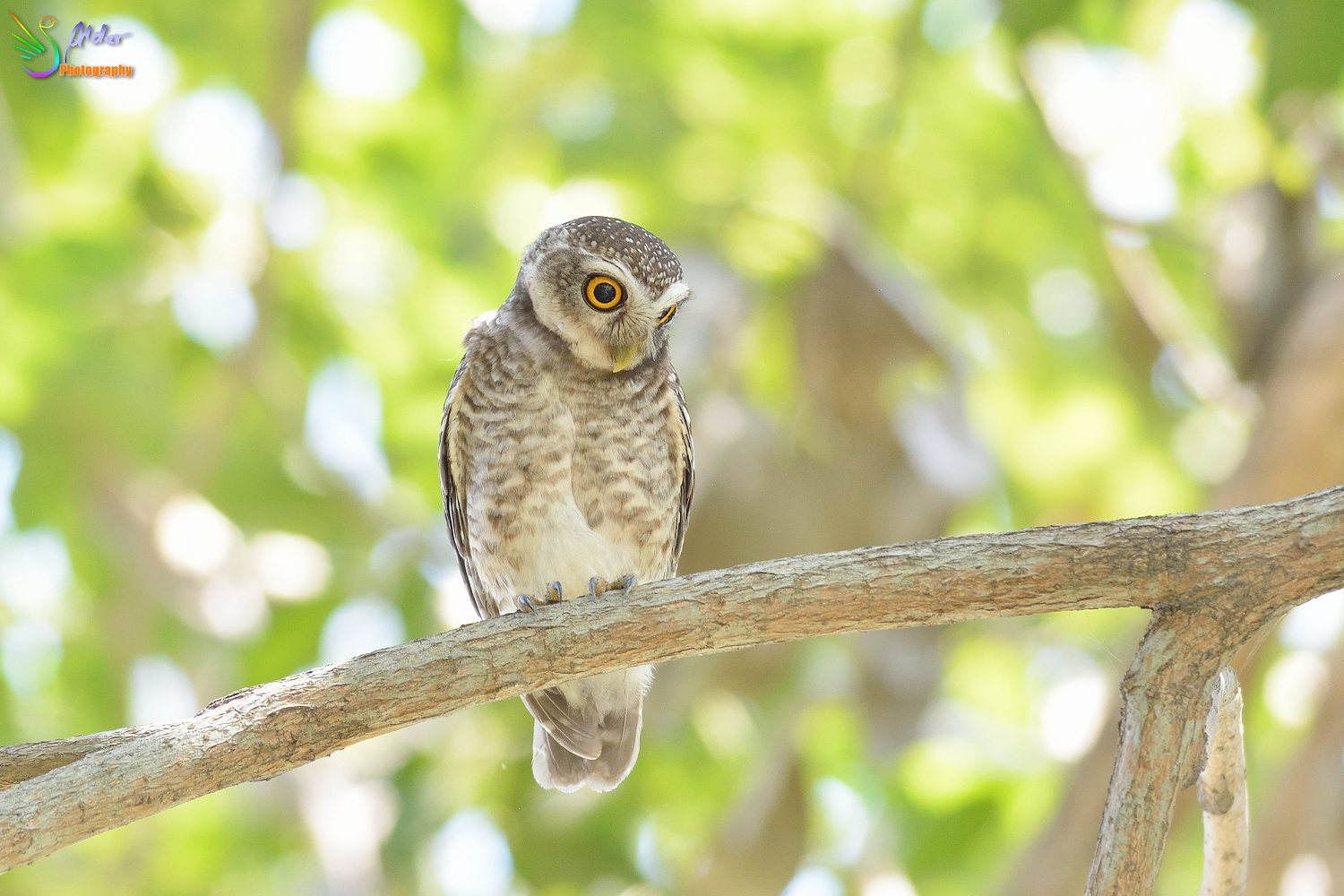 Spotted_Owlet_3078