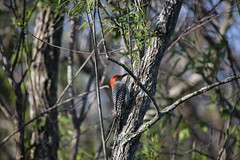 red-bellied woodpecker #1
