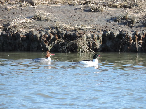 Common Merganser #59 Lifer #145