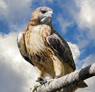 Brian_Red-tailed Hawk_Downs Pk 1 LG_032316_2D