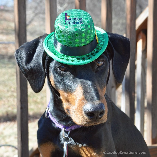 Happy St Patrick's Day from the #LapdogCreations Gang! #rescueddogs #adoptdontshop #StPatricksDay #dobermanpuppy #seniordogs #houndmix ©LapdogCreations