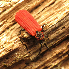 Red Net-winged Beetle