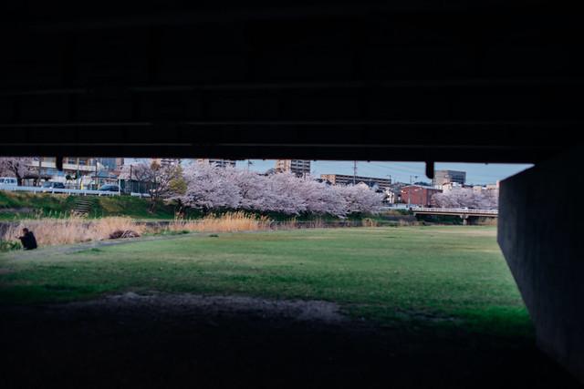 CherryBlossoms_415