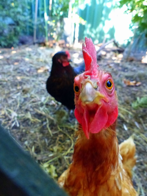 Photobombing chook