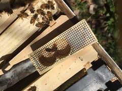 bees IMG_5746