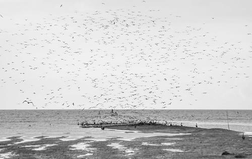 sea nature birds animals nikon outdoor wildlife gull flock flight pelican trinidad nikkor 70300mm brickfield d5200