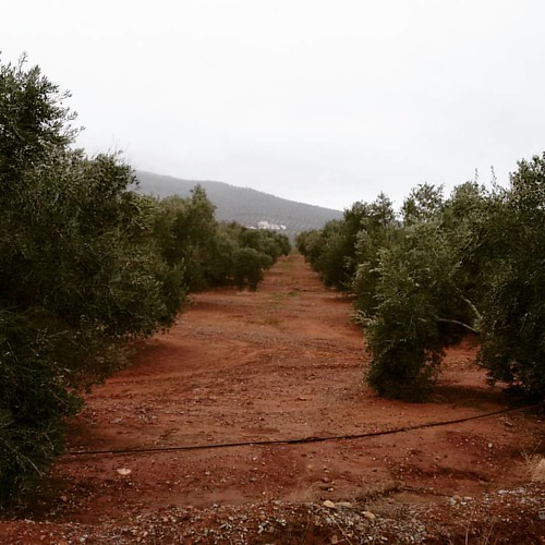 #Enero en el #olivar de #Andalucía con @olitxu86. A la salida de #Arquillos. Rumbo a #Cazorla.  #Urtarrila Andaluziako olibondoetan @olitxu86-rekin. Arquillosetik irteten. Cazorlara bidea.  #tipicodeandalucia  #8mpx #ludwig #miarma #miarmacom