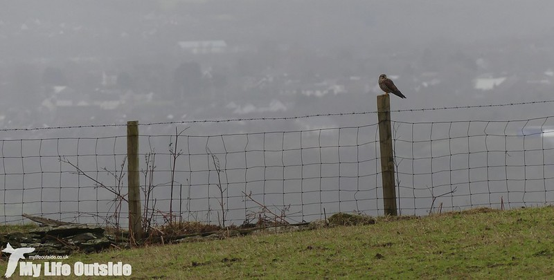P1000189 - Kestrel, Bryn-bach-Common
