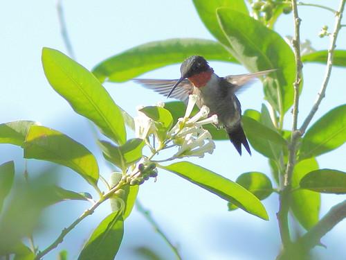 Ruby-throated hummingbird XLIGHT 02-20160214