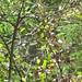 starr-090720-3054-Aristolochia_littoralis-habitat-Waiehu-Maui